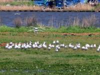 河川敷にはカモメが群れていた