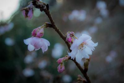 この時期はどこかで寒桜に出会えます