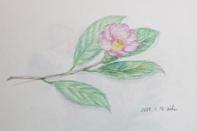 つばき 2015.1.14 水彩色鉛筆